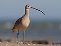 Long-billed Curlew by Dan Pancamo.jpg