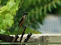 Long-tailed Shrike (Lanius schach) (22751716354).jpg