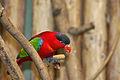 Lorius domicella -Artis Zoo -Netherlands-8c.jpg