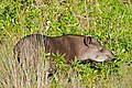 Lowland Tapir (Tapirus terrestris) male browsing leaves ... (29260576691).jpg