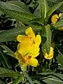 Ludwigia grandiflora saint-mathurin-sur-loire 49 10082007 5.JPG