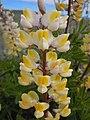 Lupinus arbustus (5155238908).jpg