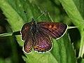 Lycaena helle - Violet copper - Червонец голубоватый (28517087908).jpg