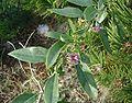 Lycium-halimifolium-flower.JPG