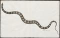 Lycodon petolarius - 1734-1765 - Print - Iconographia Zoologica - Special Collections University of Amsterdam - UBA01 IZ11900146.tif