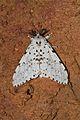 Lymantria marginalis (Lymantriidae-Lymantrinae- Lymantrini) (5695371335).jpg