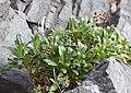 Lysimachia mauritiana s3.jpg