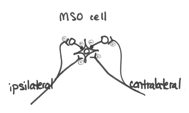 file mso neuron wiring png