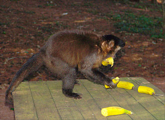 Banana production in Brazil - A tufted capuchin eating Brazilian bananas