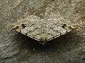 Macaria signaria - Dusky peacock - Углокрылая пяденица еловая (39125032850).jpg