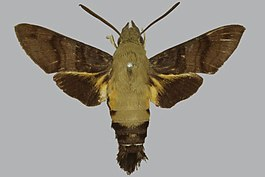 Macroglossum bombylans BMNHE272489 male up.jpg