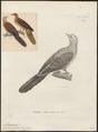 Macropygia ruficeps - 1700-1880 - Print - Iconographia Zoologica - Special Collections University of Amsterdam - UBA01 IZ15600373.tif