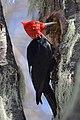 Magellanic Woodpecker, male..jpg