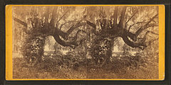 Magnolia Cemetery. Oak and moss, by Quinby & Co..jpg