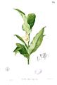 Magnolia liliifera Blanco1.198.png