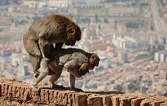 Barbary macaque - Barbary macaques mating