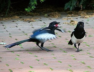 Begging in animals - A begging magpie using visual and auditory signals
