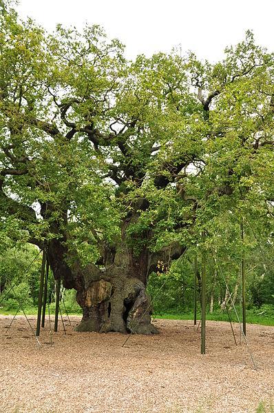 File:Major Oak (9510).jpg