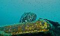 Malabar Grouper (Epinephelus malabaricus) (6103443876).jpg