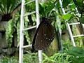 Malaysia - KL Butterfly Gardens - 03 (5208967082).jpg