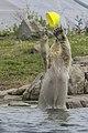 Male? child Polar bear playing (2-5) (20333393140).jpg