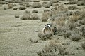 Male Greater Sage-Grouse (7094309811).jpg