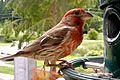 Male House Finch (703070718).jpg