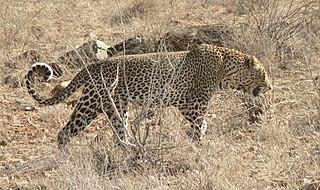 African leopard Leopard subspecies