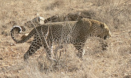 African leopard - Wikiwand