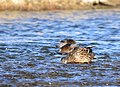 Mallard on Seedskadee National Wildlife Refuge (40292251225).jpg