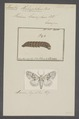 Mamestra - Print - Iconographia Zoologica - Special Collections University of Amsterdam - UBAINV0274 057 03 0002.tif