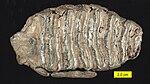 Mammuthus Tooth Surface Pleistocene Ohio.jpg