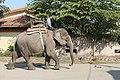 Man Riding Elephant at Chitwan National park-IMG 0792.jpg