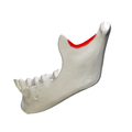 Mandibular notch - close-up - lateral view.png