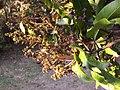 Mangifera indica flowers.JPG