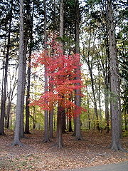 A red Maple tree between many pine trees.