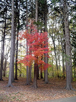 A red maple tree between a bunch of pines