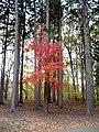 Maple between pines.jpg