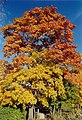 Maple in fall - panoramio.jpg