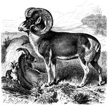An old engraved print of a sheep with very large curved horns, pictured in profile. The wool is short and the color of the abdomen and head are darker than the legs and neck.