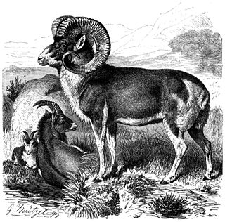 Marco Polo sheep Subspecies of mammal