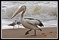 Margate Pelican Rescue- Pelican with hook-01 (6804581222).jpg