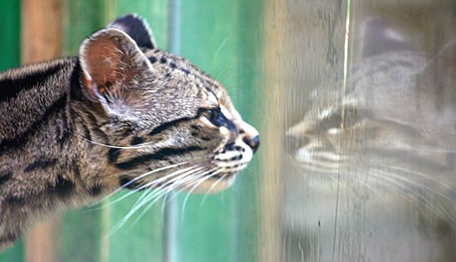 Margay Colchester Zoo