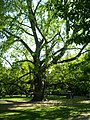 Margitszigeti fa.jpg