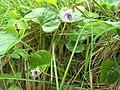 Marsh Violet Viola palustris V08 H4063 C.jpg