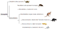 Marsupial phylogeny (ita).png