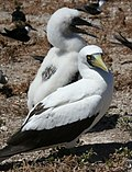 Masked booby with chick.JPG