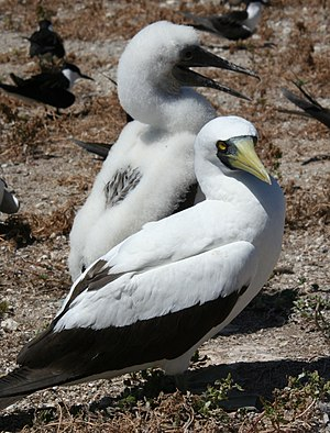 Seabird breeding behavior - Nazca booby adult with a large chick. This species lays two eggs; after the eggs hatch, the larger, healthier chick almost always kills their smaller sibling. This is one of the few species in the animal kingdom where siblicide is thought to be obligate