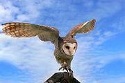Masked owl landing