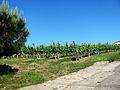 Maumusson-Laguian Vignoble de l'AOC Béarn.JPG